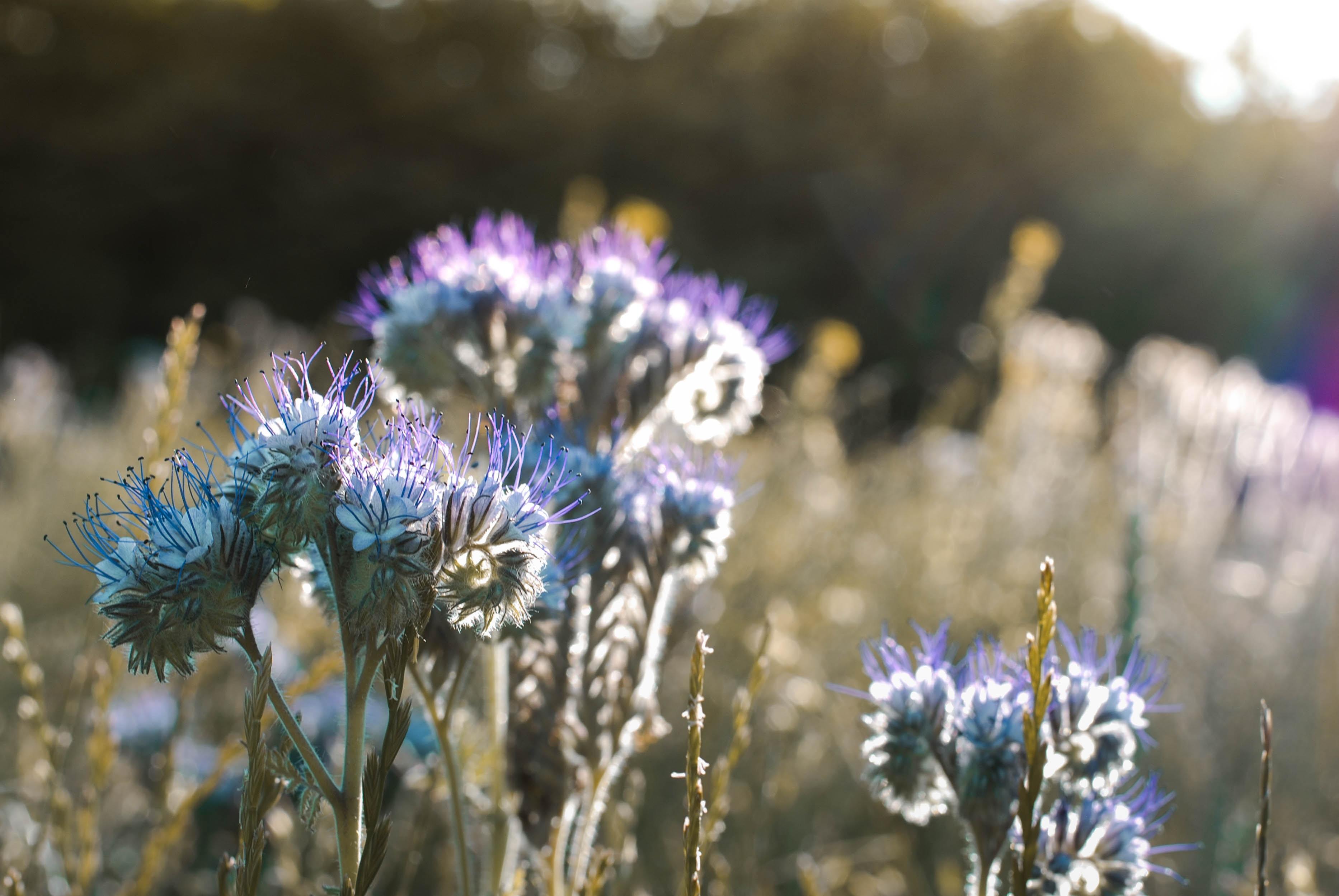 bed of purpler fringe flowers