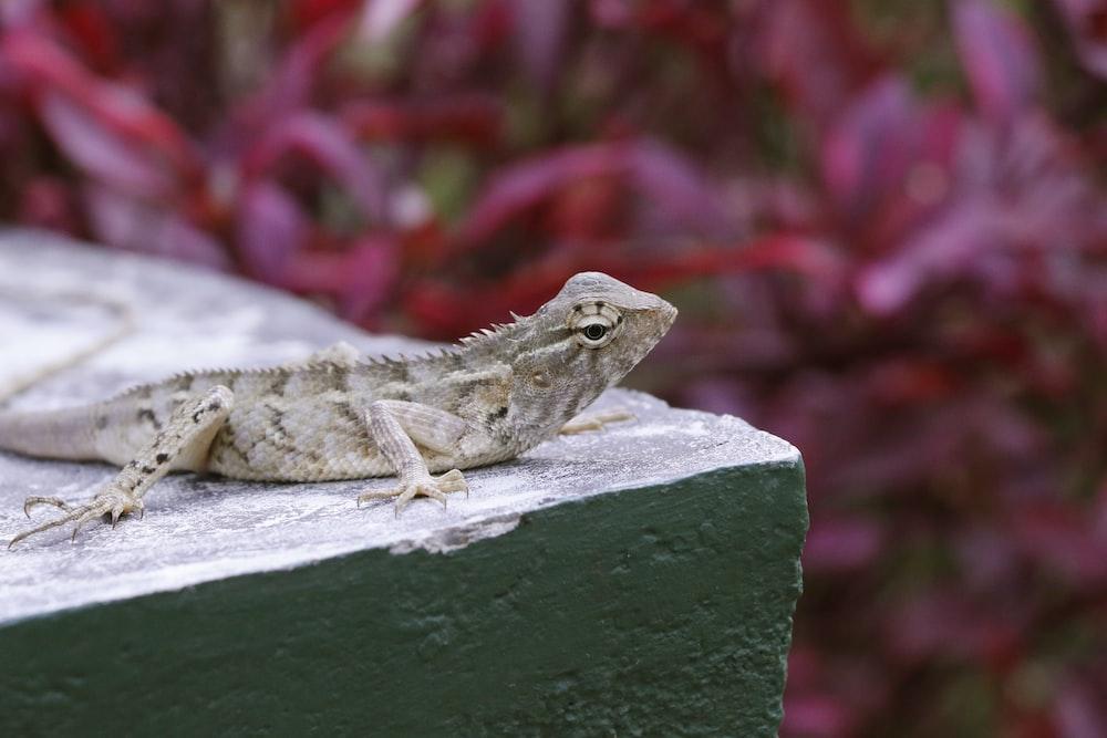 gray lizard resting on beige block