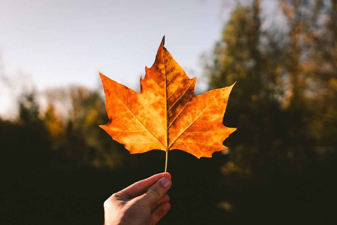 Fall is one of my favourite seasons, it's full of colors and the temperature is just right where i live, ideal sweater wheater! Found this leaf on the street, all alone.. It's such a beautiful leaf.. Nature is really awesome. Respect it