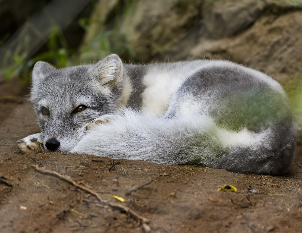 wolf pup lying on brown surface