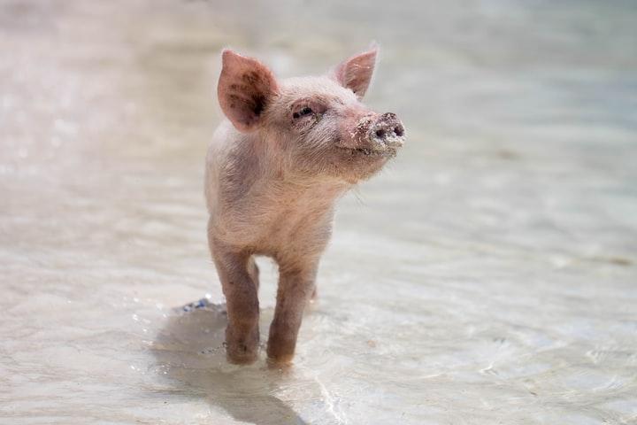 Dizzy the Pig Dreams Big
