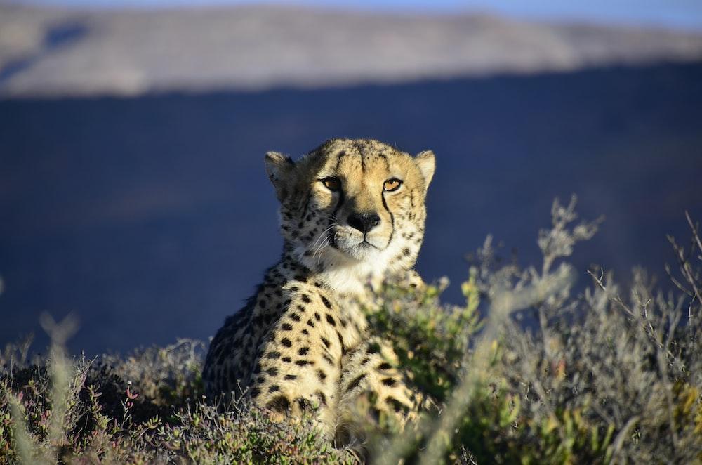 leopard sitting on grass field
