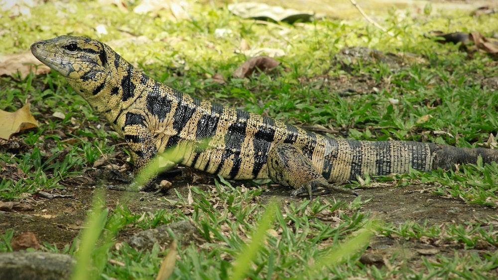 brown komodo dragon on grass field