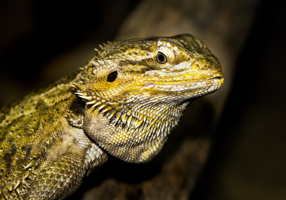 close-up photography of green iguana