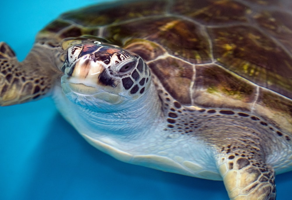 brown turtle on body of water