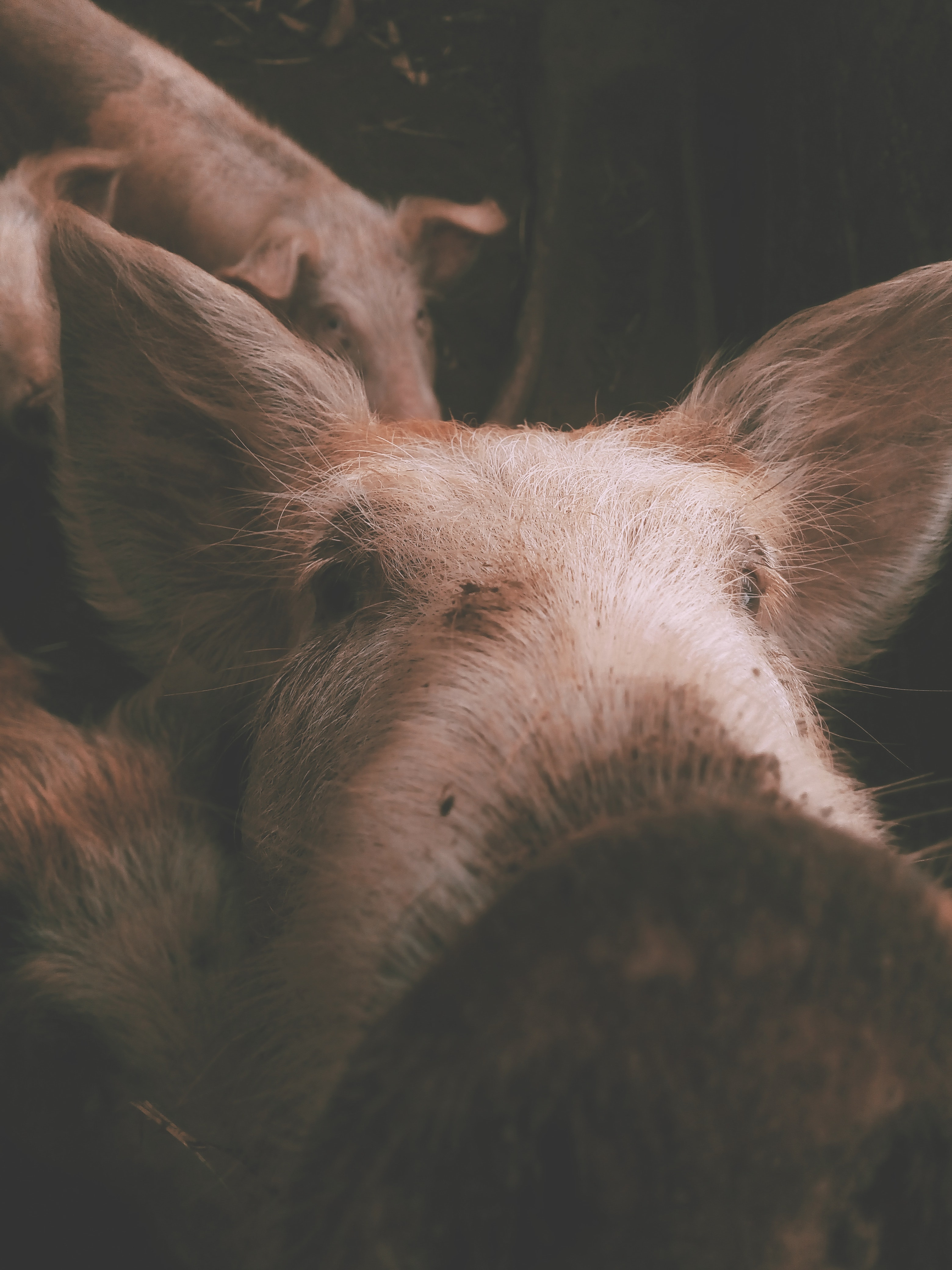 close-up photography of white and brown pig