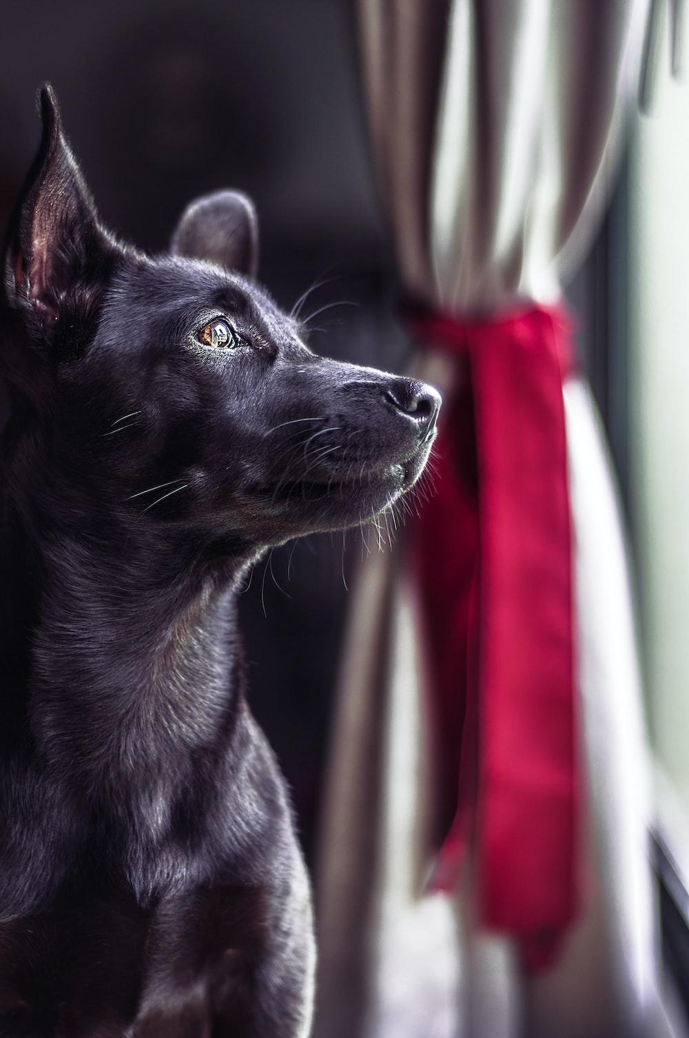 closeup photography of black short-coat dog