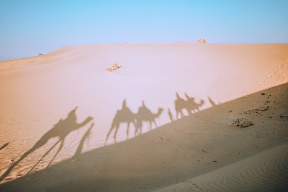 shadow of four camels on desert