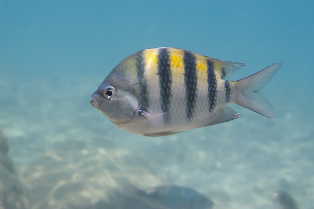 white and black striped fish