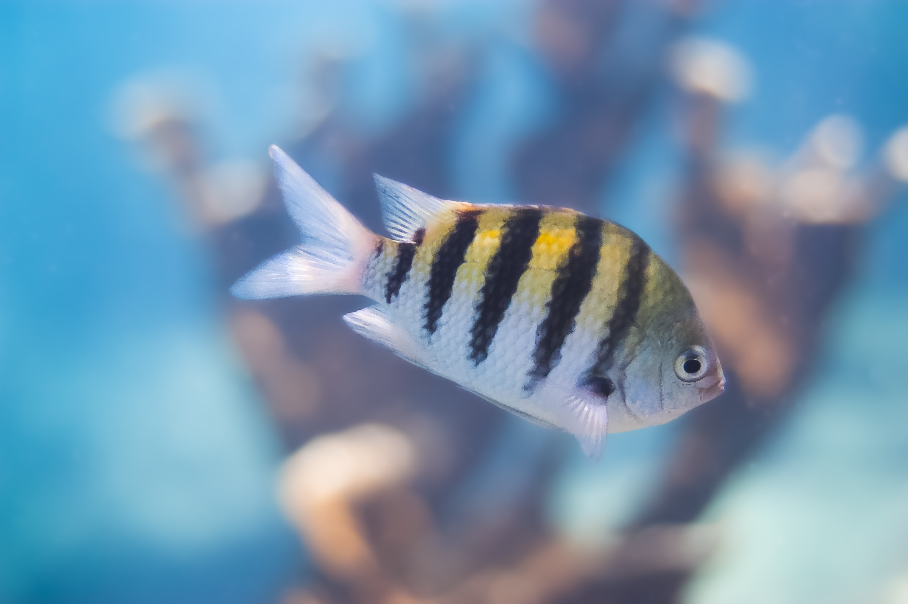 selective focus photography black and gay striped fish