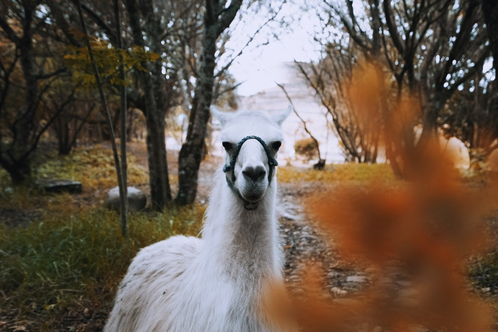 white llama beside trees