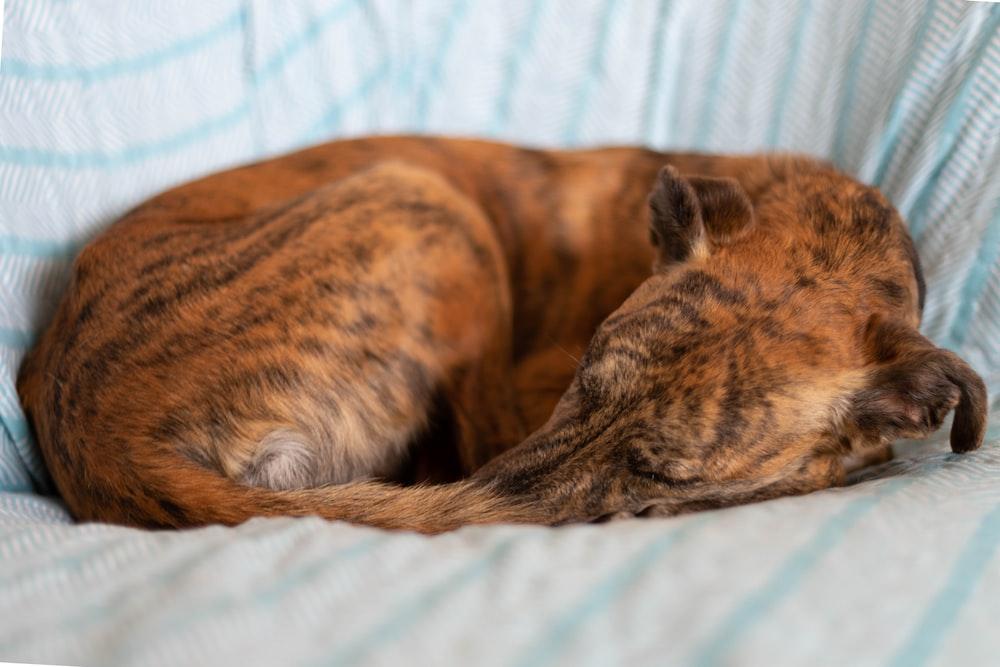 short-coated brindle dog sleeping on blue surface