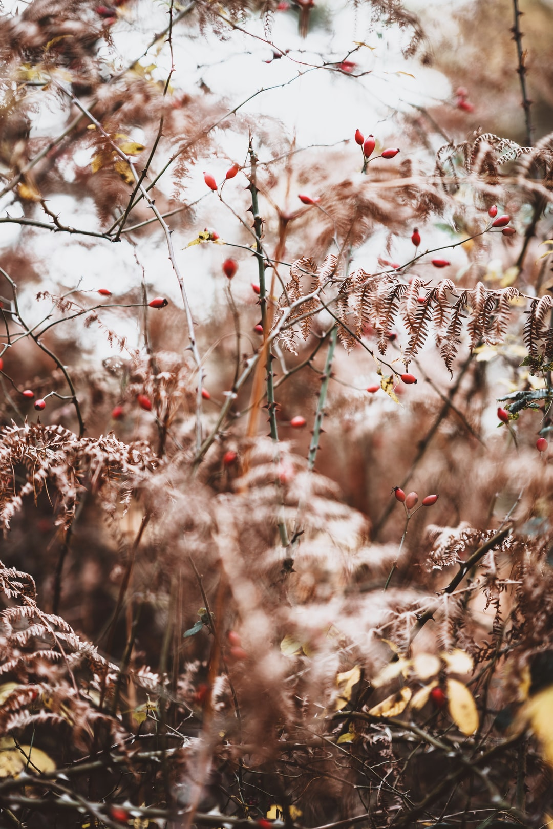 Rosehips,brambles and ferns in Autumn