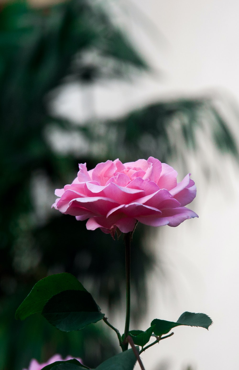pink rose photography