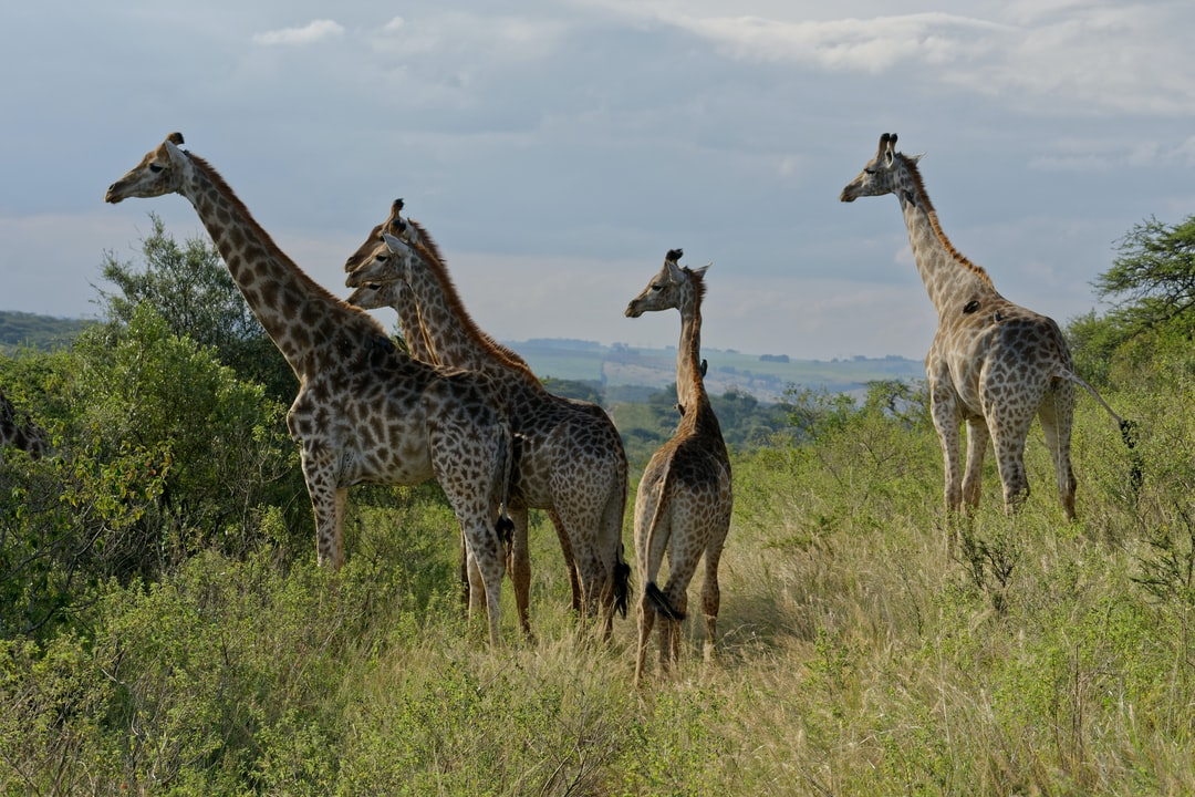 A group of eight female giraffe watch as a male approaches.  Picture is from the Tala Private Game reserve which has no predators enabling the animals to relax and be more tolerate of visitors.