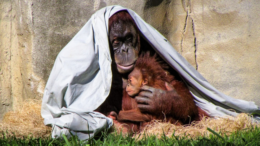 orangutan hugging his baby