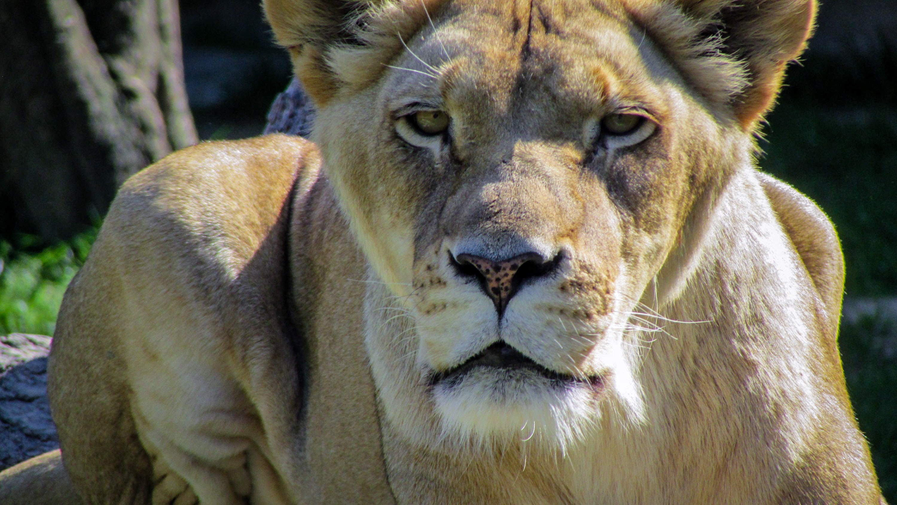 close-up photo of lioness