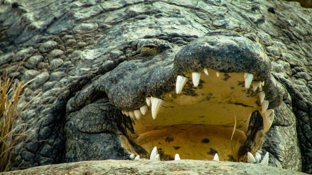 This Nile Croc was sleeping with its mouth open…wonder how often something wanders into its mouth unknowingly.
