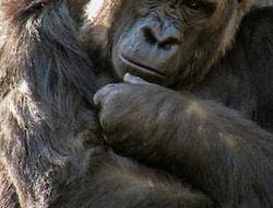 Bwindi Impenetrable National Park, Gorilla-Tracking