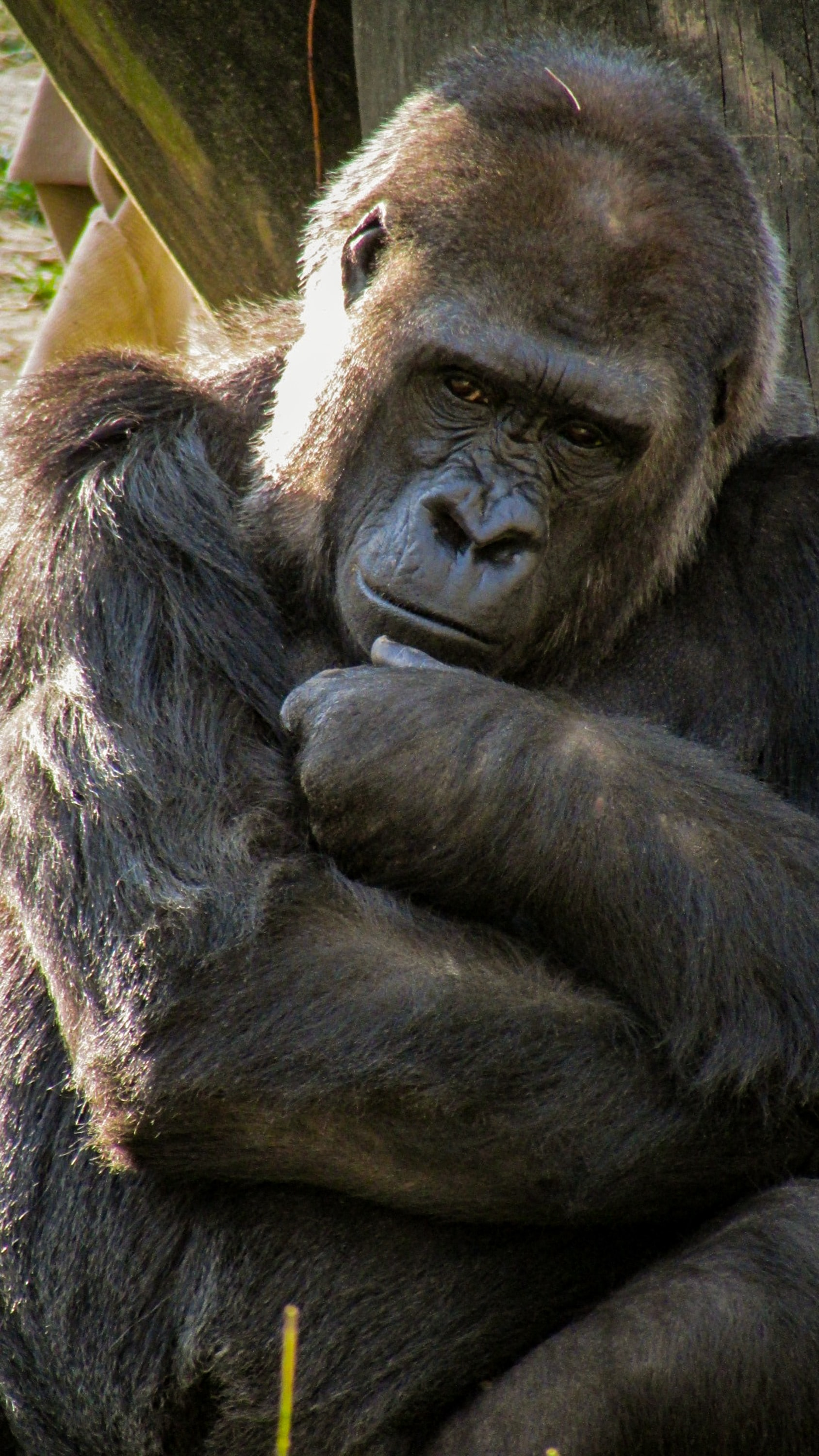 black gorilla beside wood