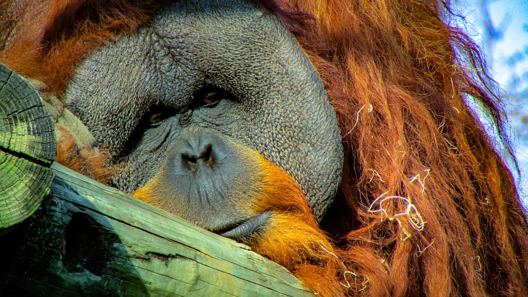 The male orangutan at the Memphis Zoo sits high up on his perch.  I wonder what's going through his mind right now.