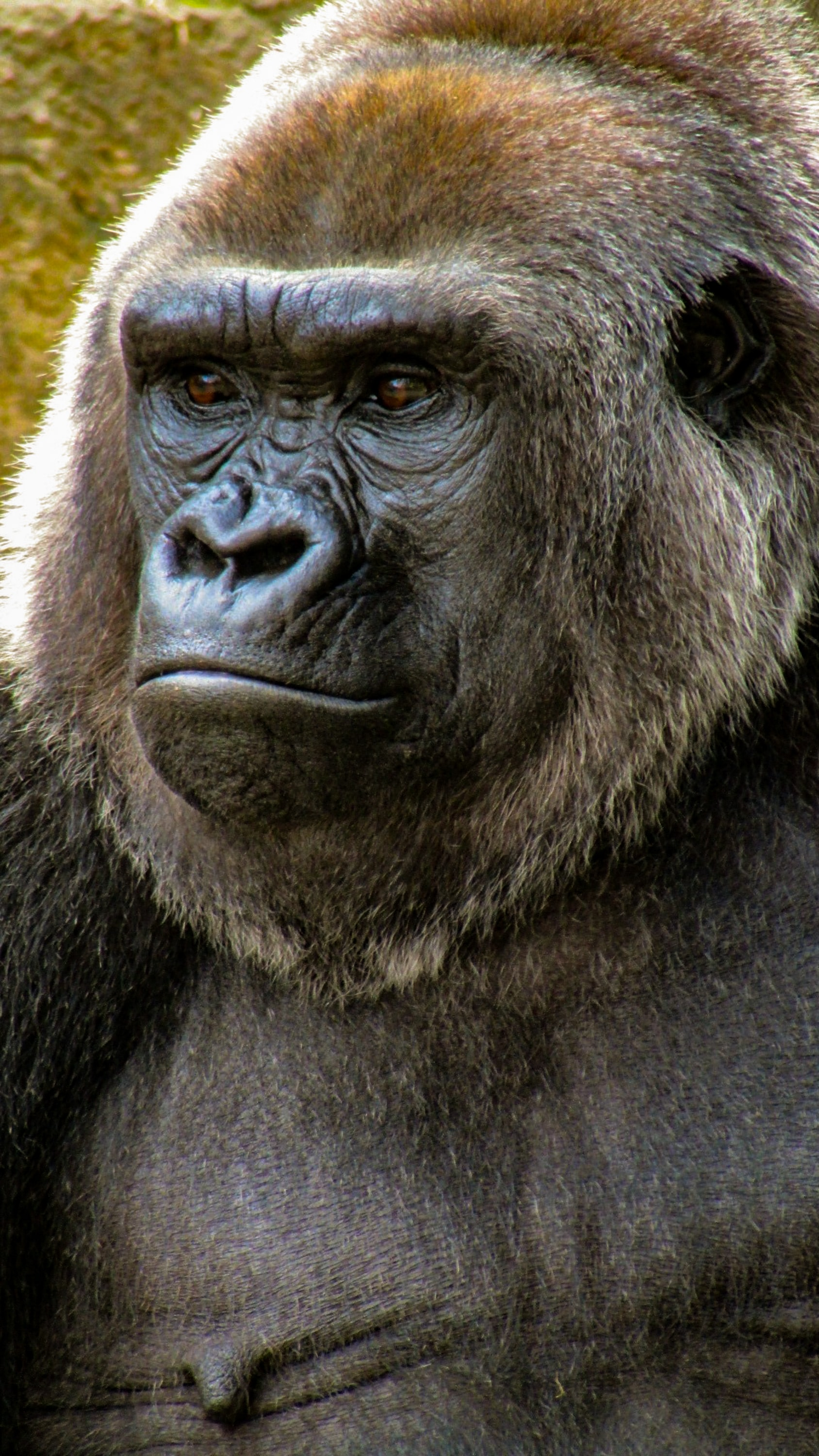 close-up photo of gorilla