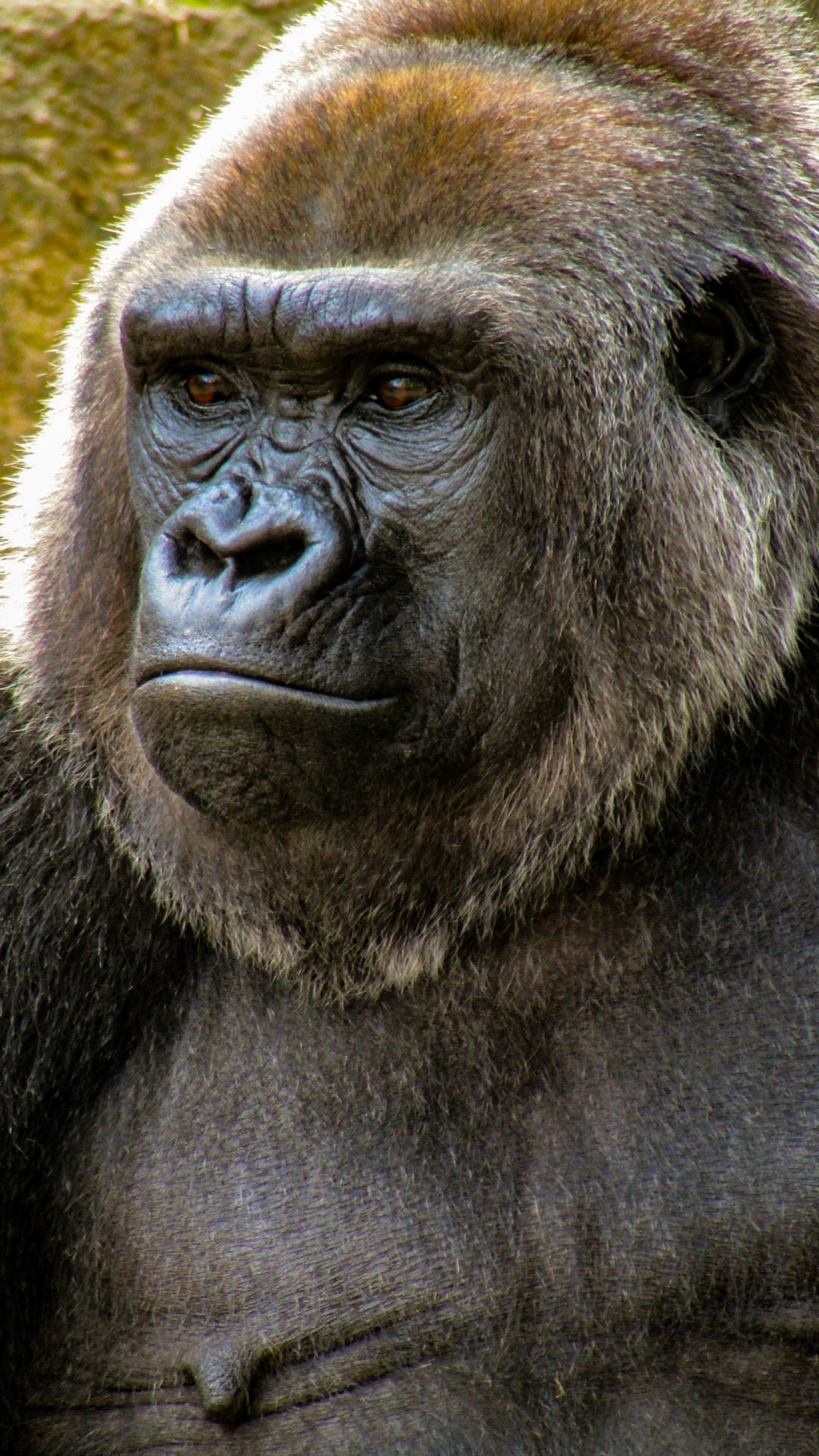 A gorilla sits still for a photo to be taken.