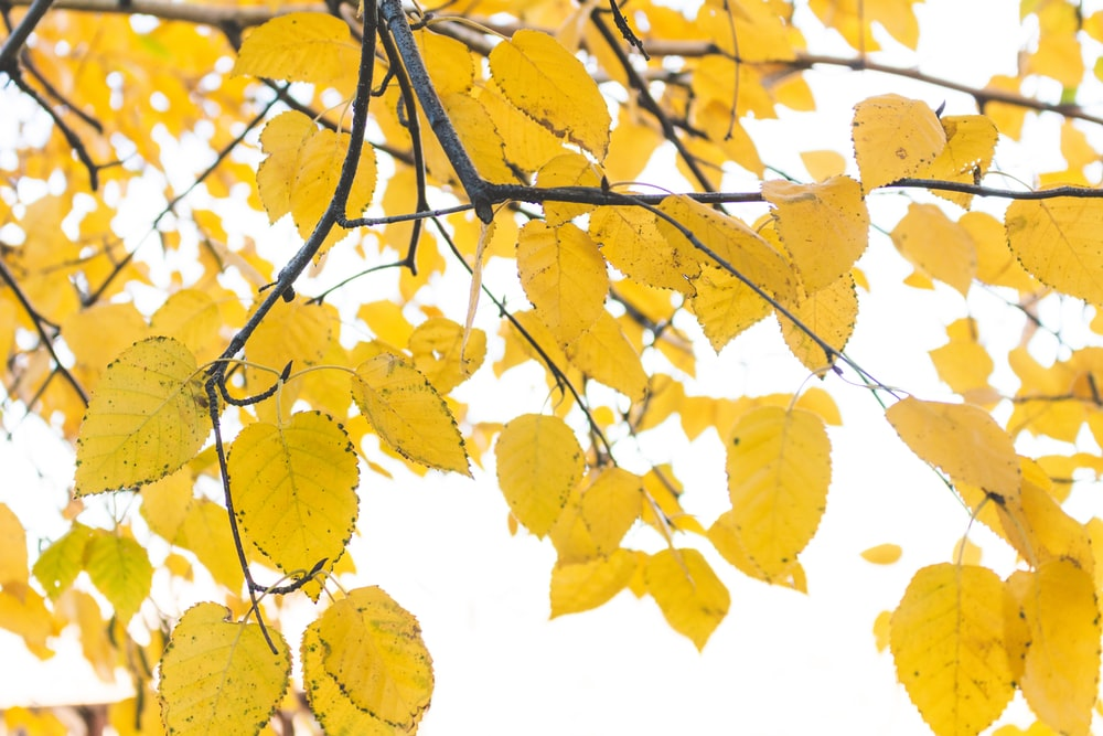 yellow leafy tree