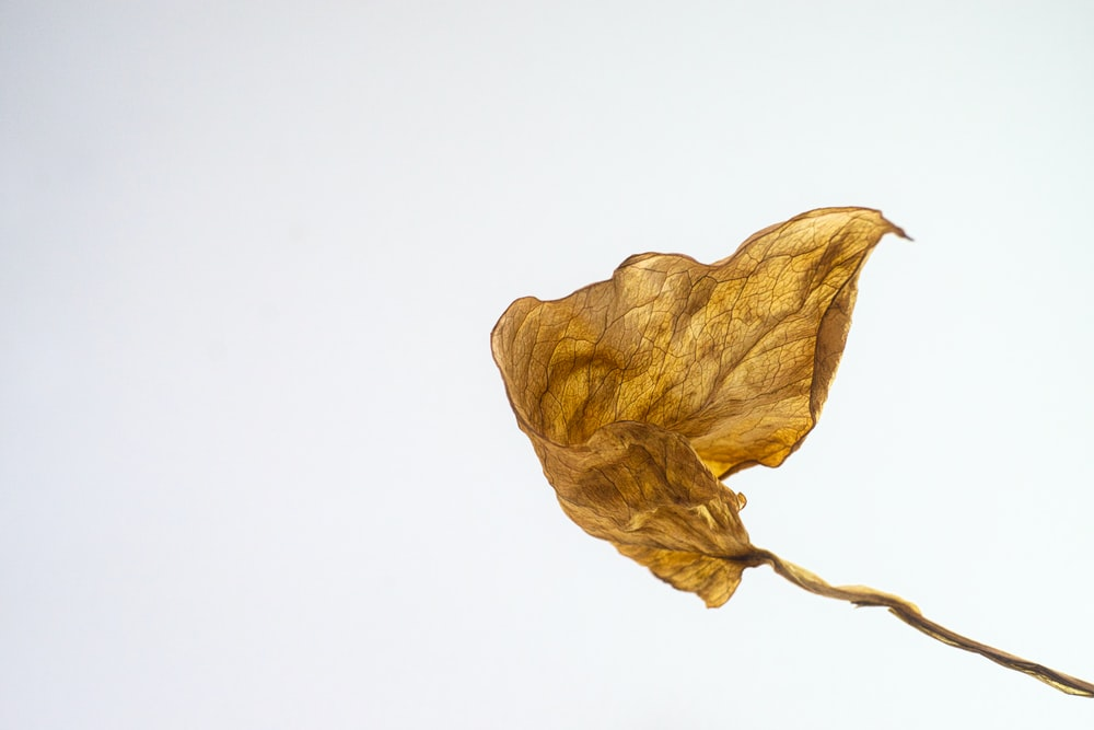 brown dried leaf