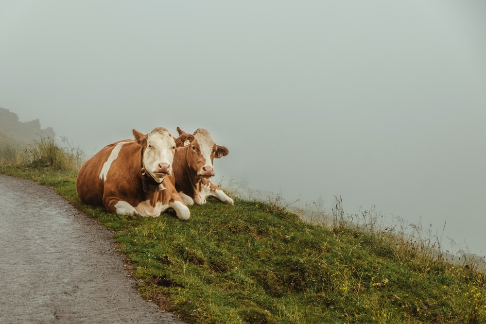 two white-and-brown cows