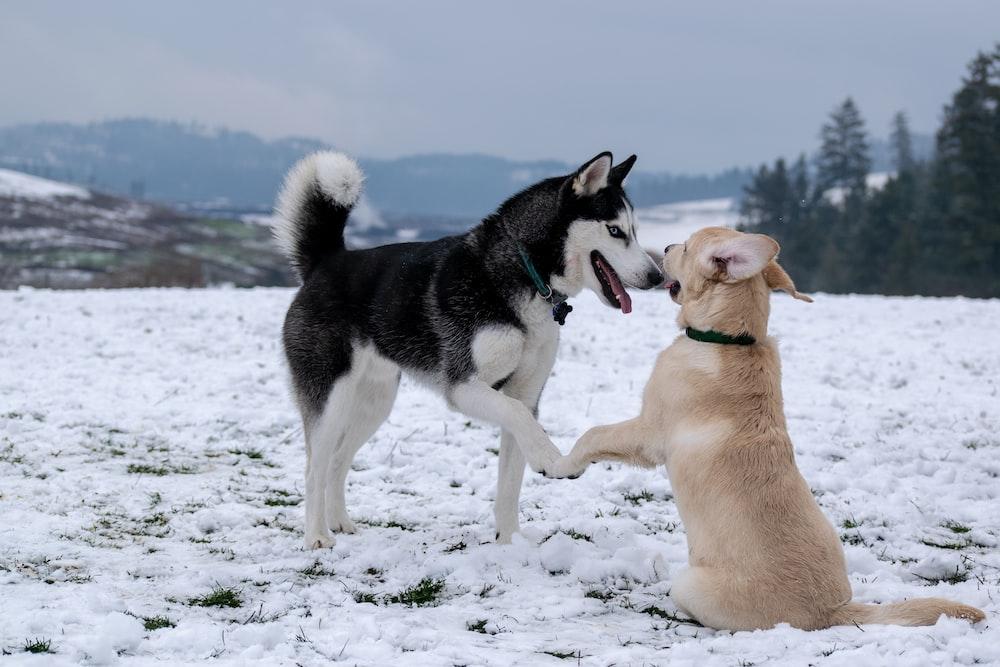 adult black and white Siberian husky beside short-coated brown dog