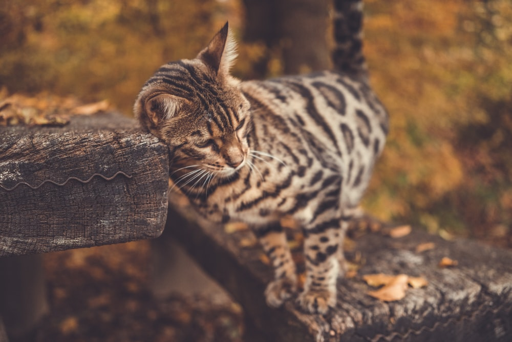 Bengal Cat Pictures | Download Free Images on Unsplash