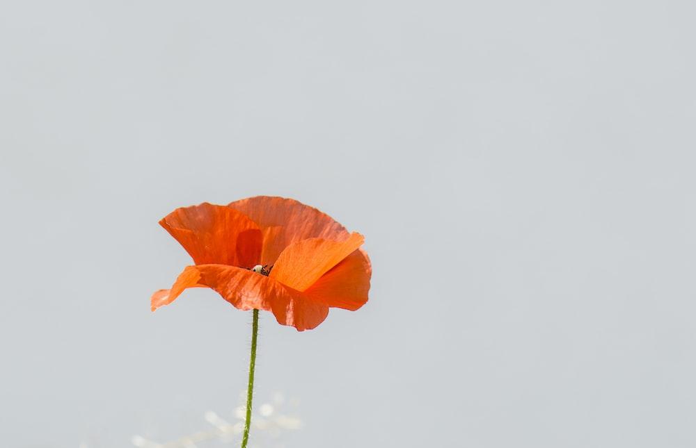 orange poppy flower in close-up photo