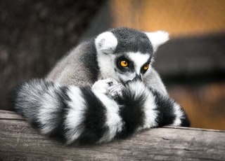 shallow focus photography of gray and black lemur