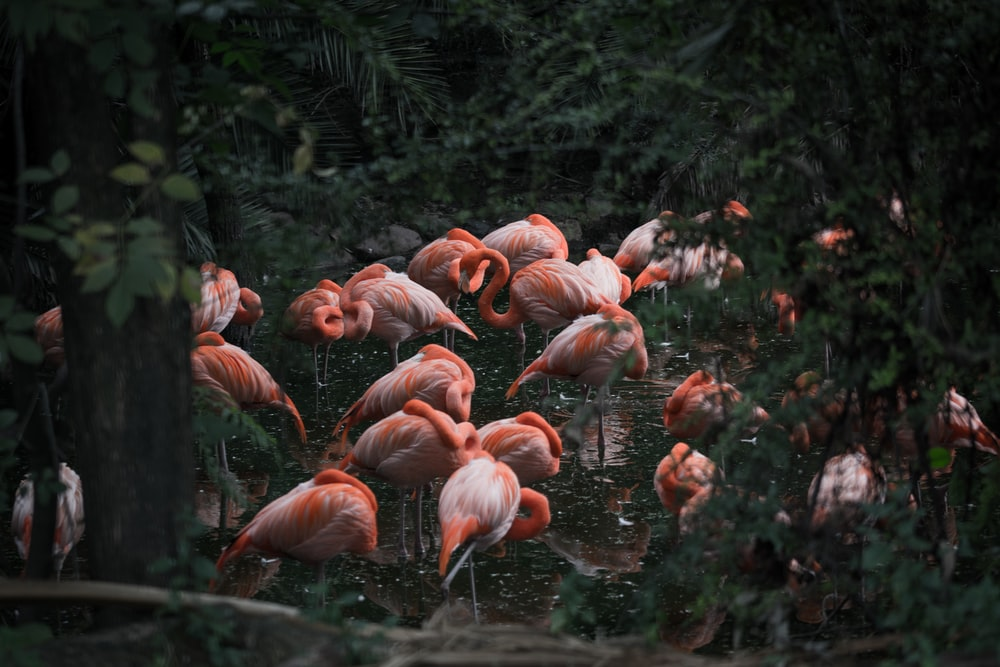 group of pink flamingo