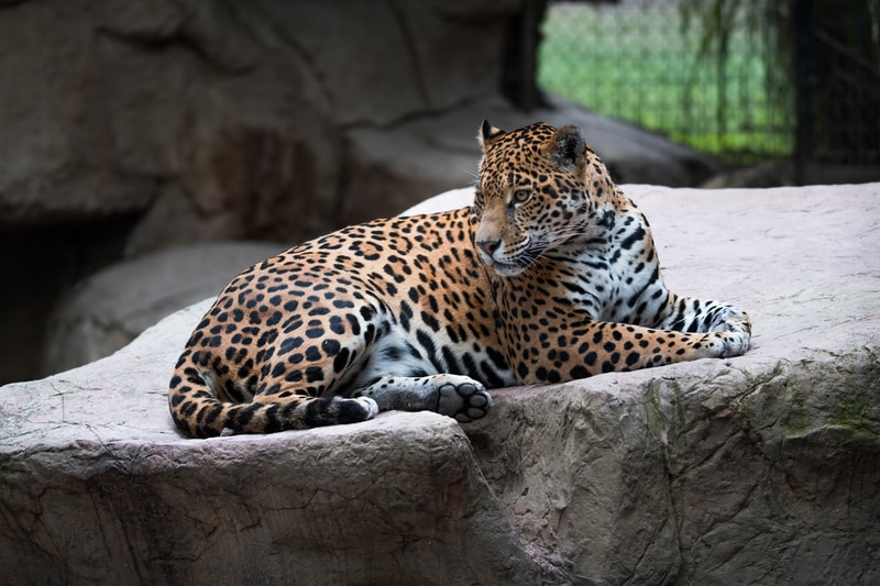 leopard laying on large rock