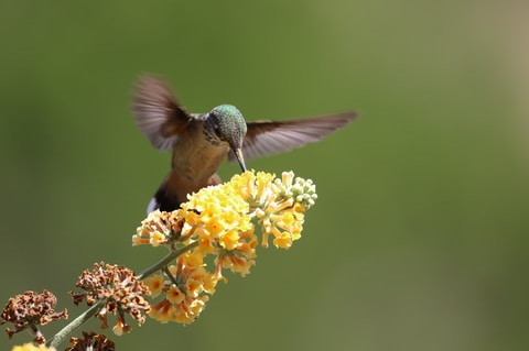gray and brown hummingbird perching on yellow petaled flower