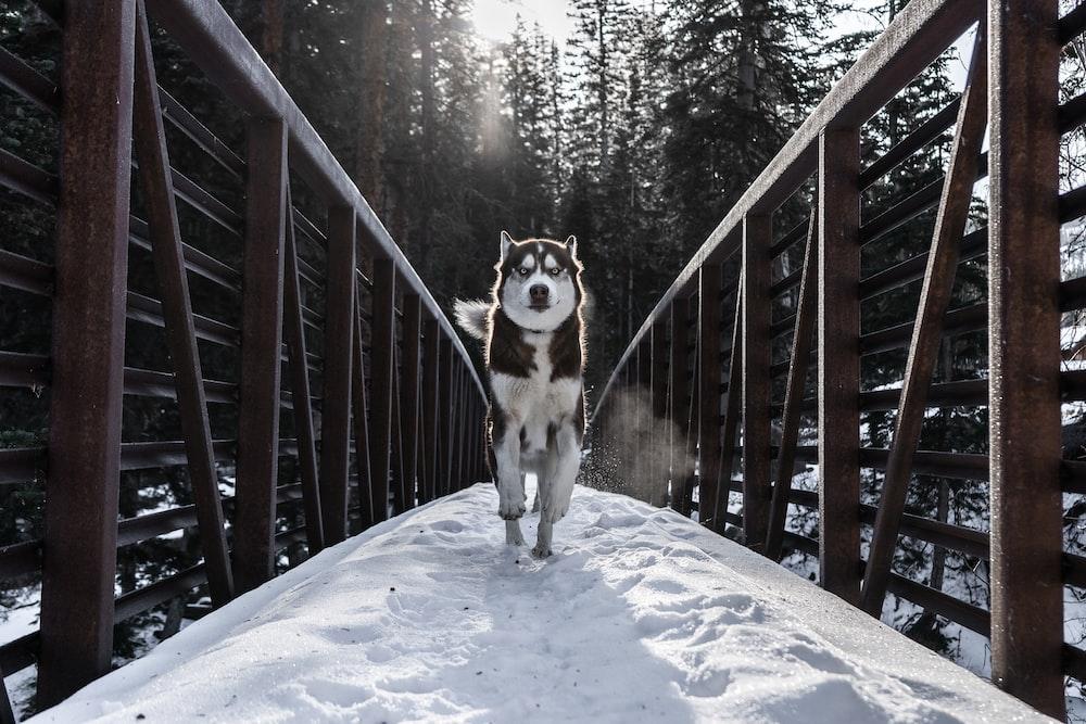 running dog in bridge