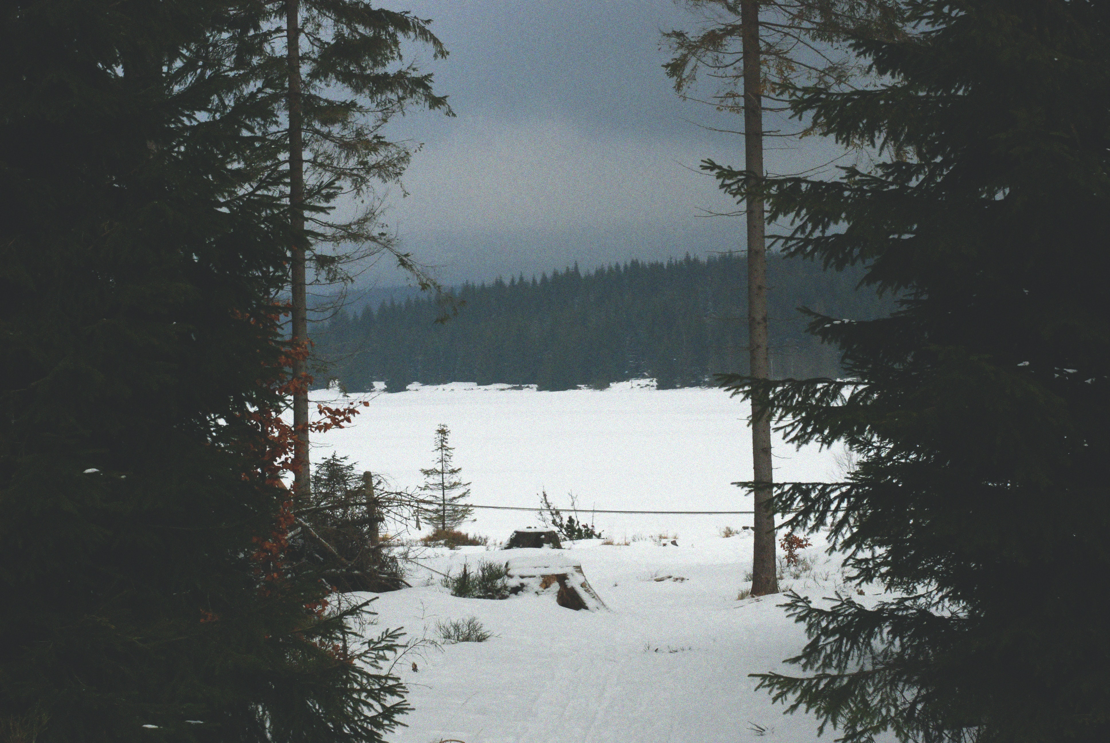 field of trees near snow ground