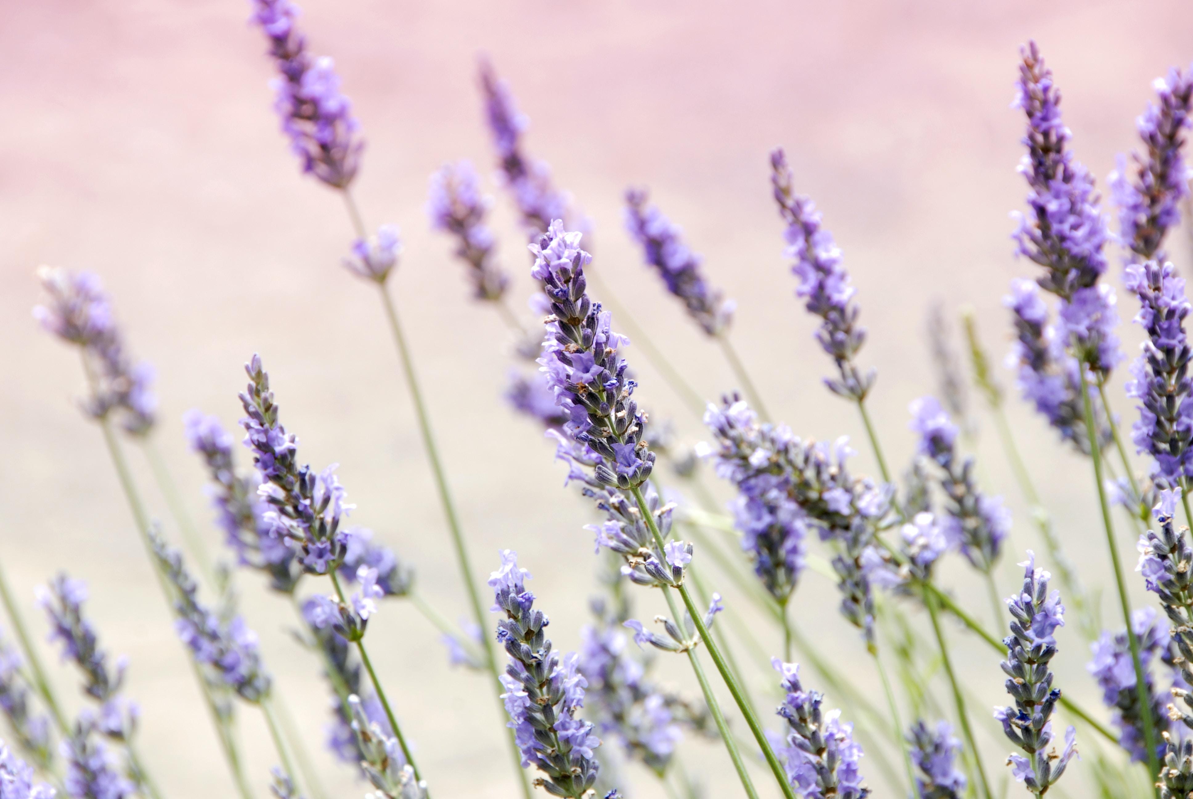 27 Lavender Pictures Download Free Images On Unsplash