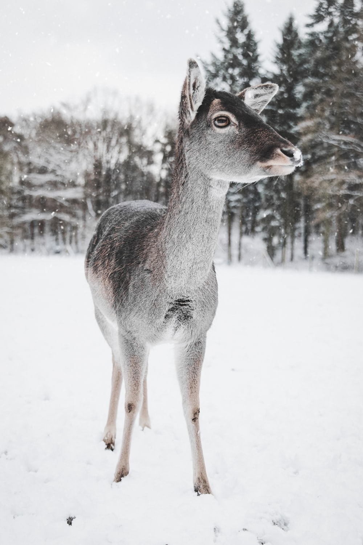 deer standing on snow-coated ground