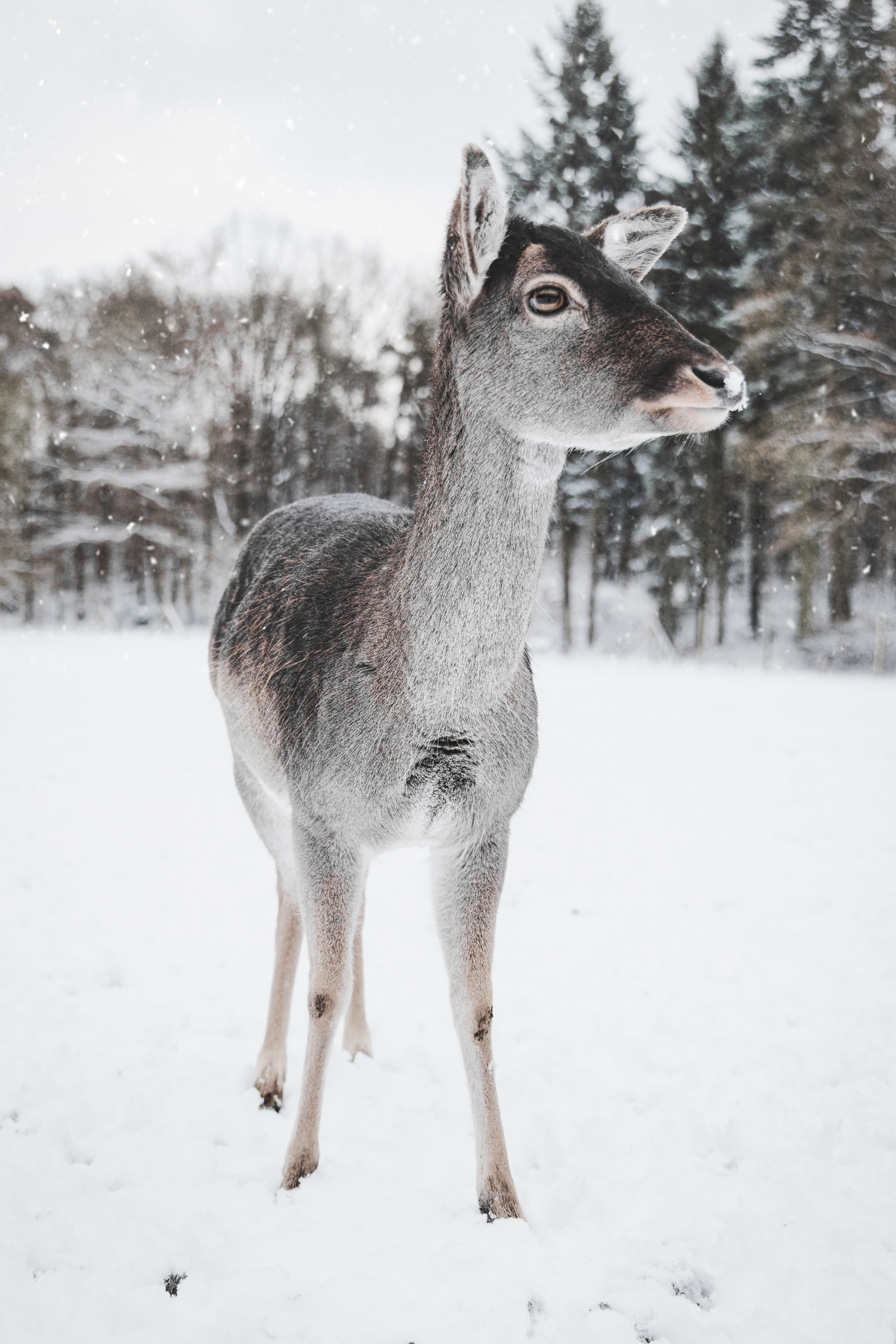deer standing on snow-coated ground
