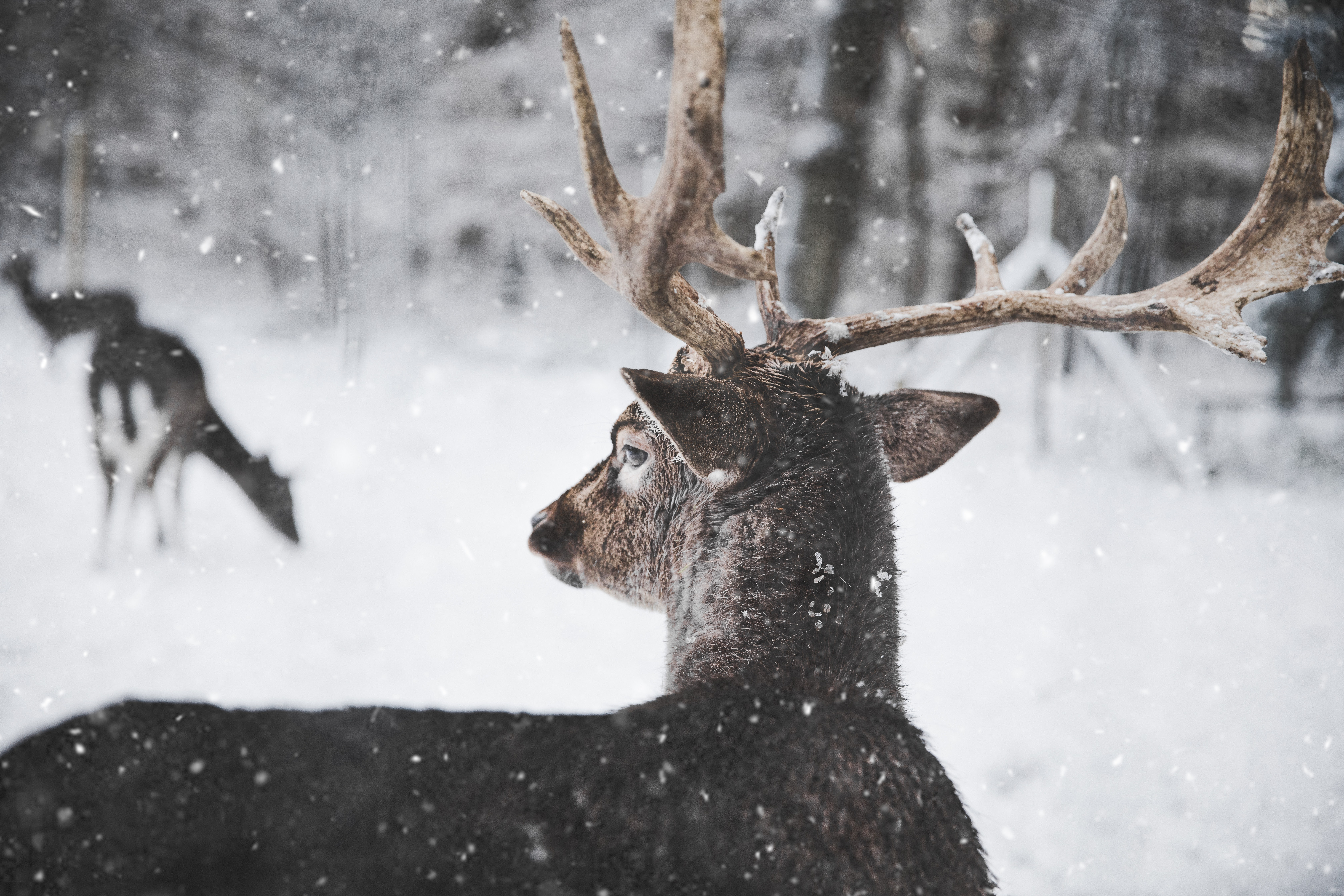 deer looking through snow