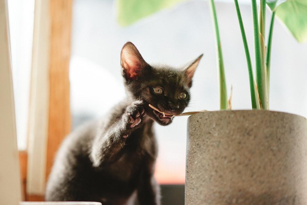 black kitten biting green plant