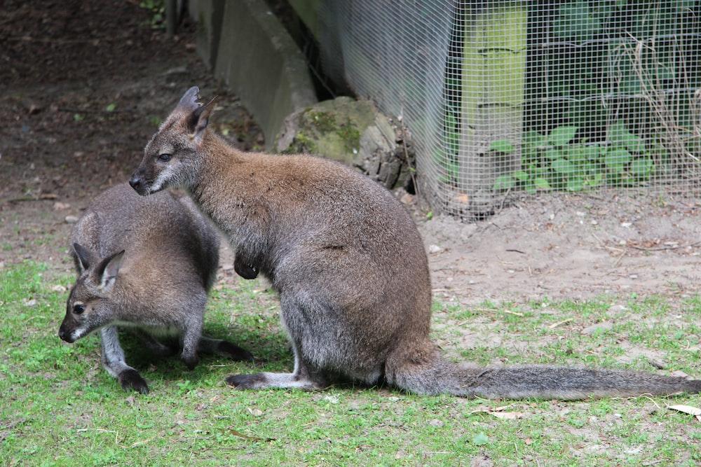 two brown kangaroo on green grass