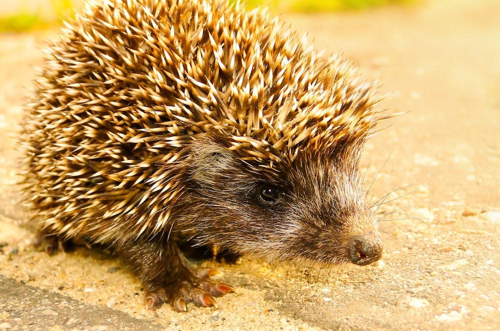 brown hedgehog on field
