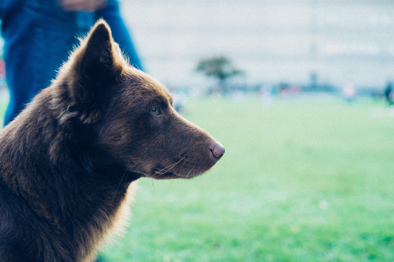 short-coat tan dog close-up photo