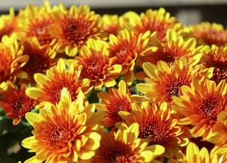 orange-and-yellow petaled flowers