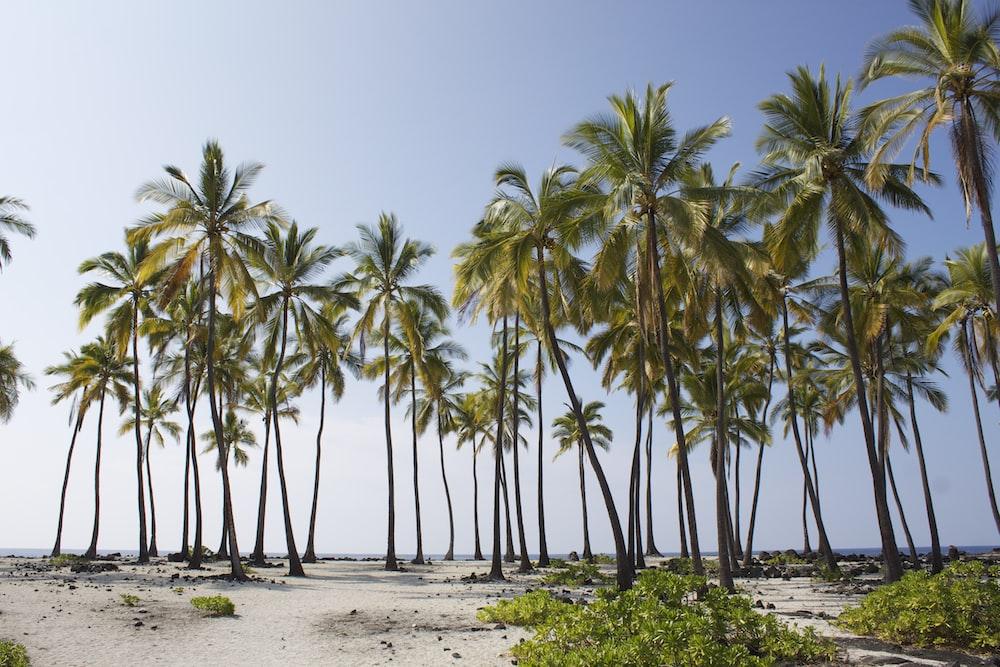 green coconut trees near ocean