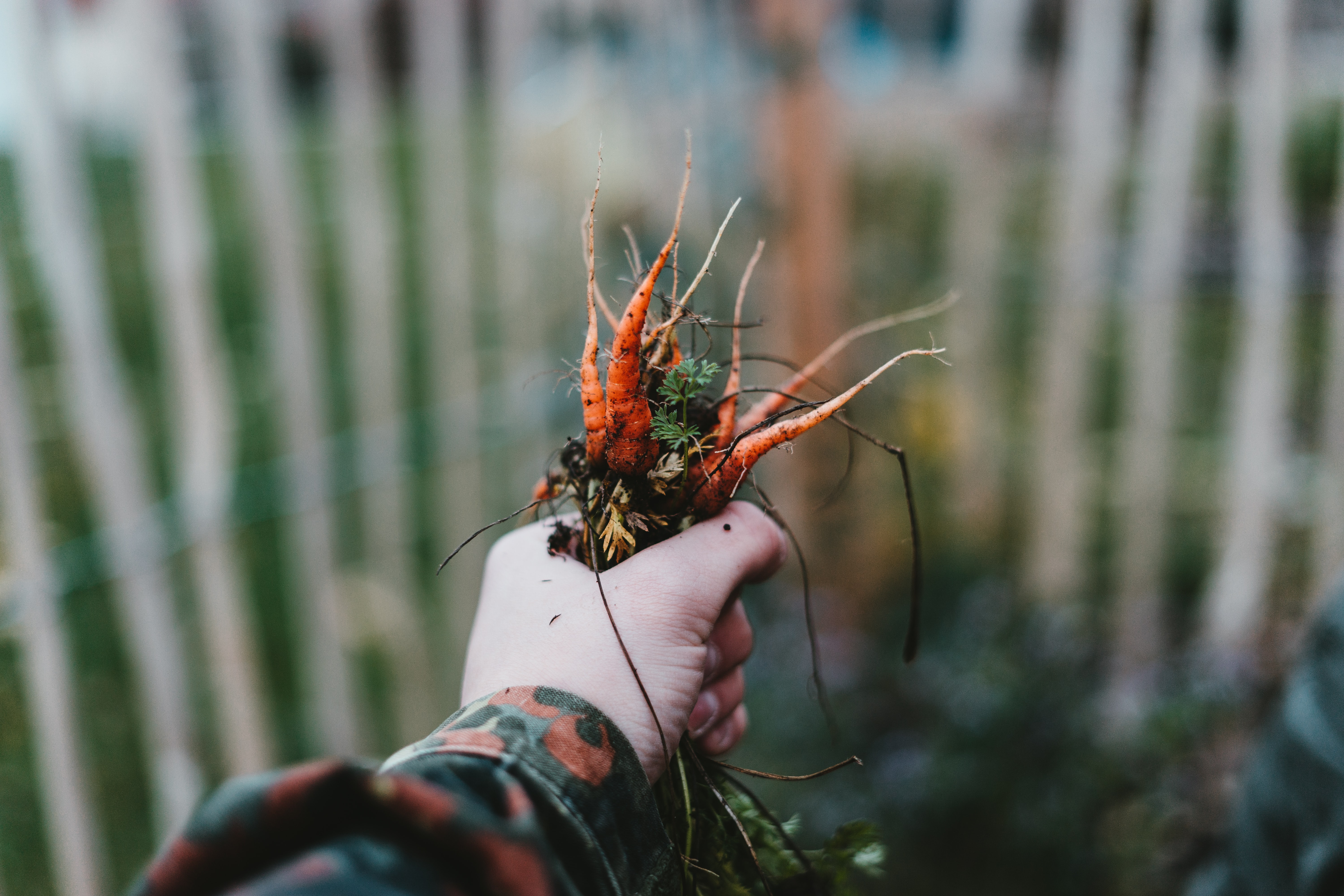 person holding orange roots